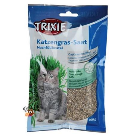 Herbe à chat en semis à faire pousser.